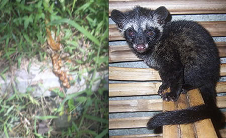 Kopi Luwak The World S Most Expensive Coffee Is Made From