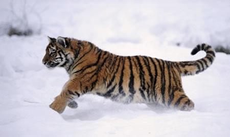 Sumatran_Tiger