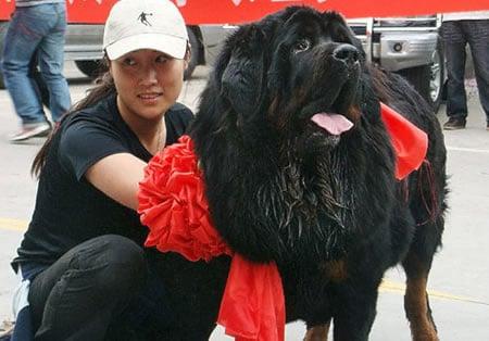 Tibetan_Mastiff1
