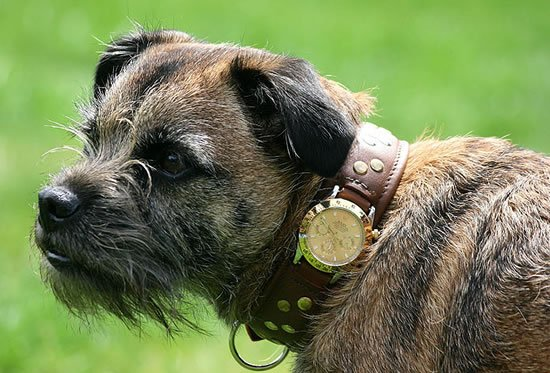 dog-collar-with-a-Rolex-watch-1
