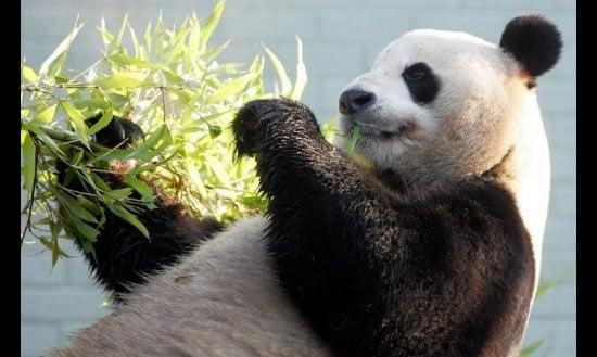 panda_poo_tea_1
