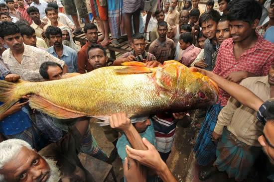 rare_gold_fish_ghat_market