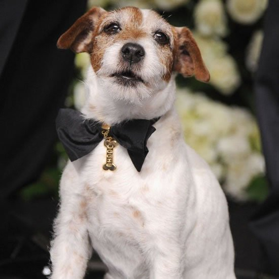 uggie-walks-the-red-carpet-with-chopard-collar