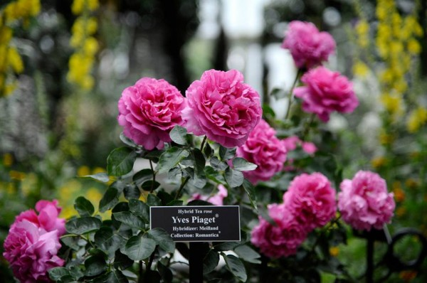 piaget-rose-day-0