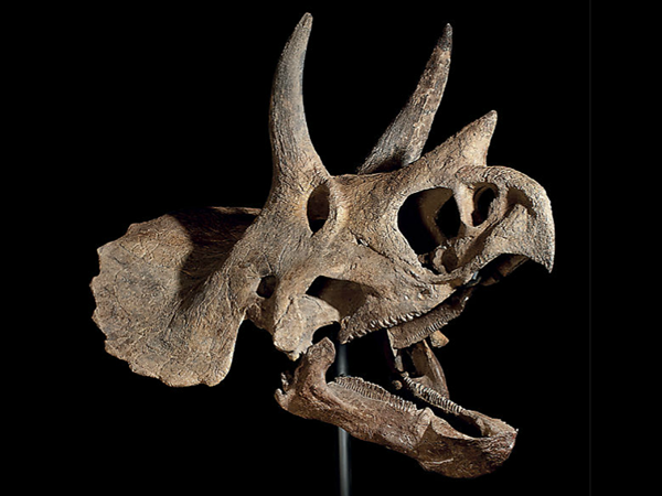 skull-of-a-triceratops