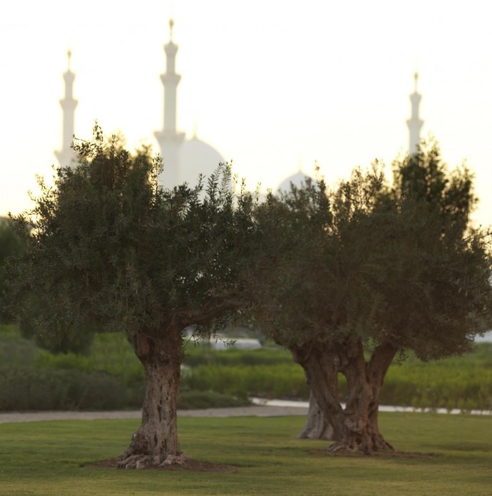 ritz-carlton-olive-trees