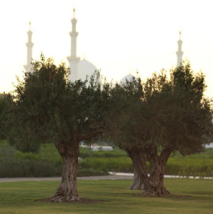 ritz-carlton-olive-trees