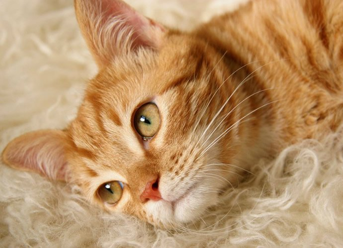 Forget Your Allergy Woes And Get A Hypoallergenic Cat For