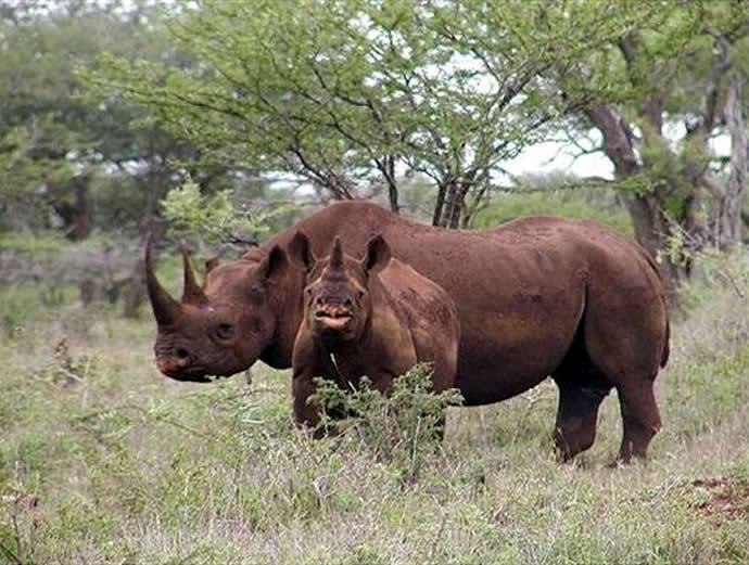 african-black-rhino