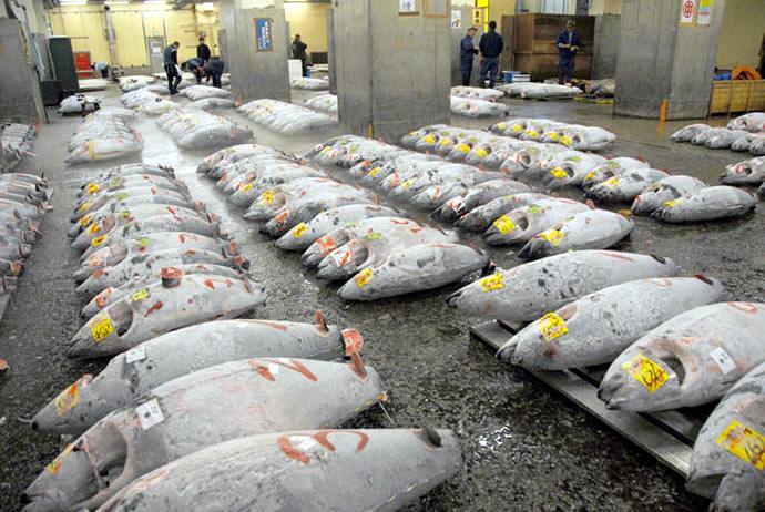 bluefin-tuna-2