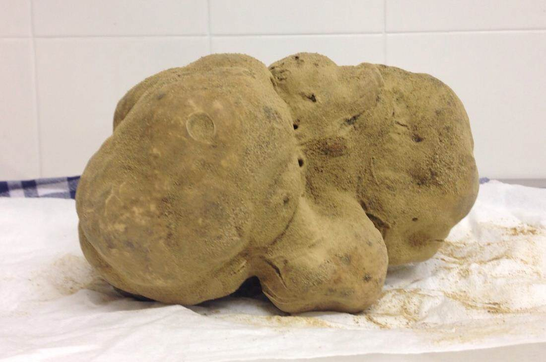 World's largest white truffle to be auctioned at Sotheby's for a staggering $1 million -