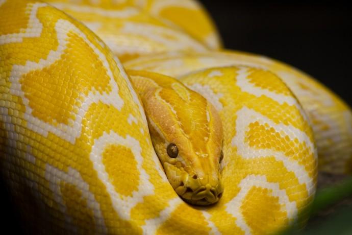 Close up of Golden Thai Python, focus at eyes