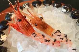 noma-japan-shrimp-ant