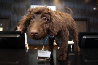 labradoodle-london-hotel-1