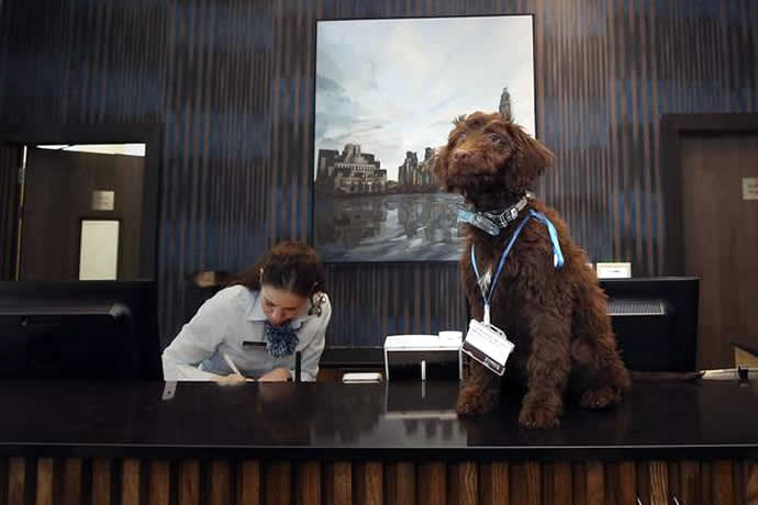 labradoodle-london-hotel-2