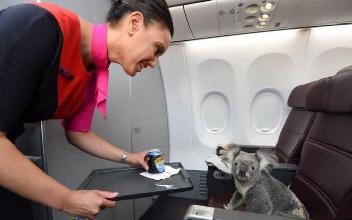 famous-koalas-1