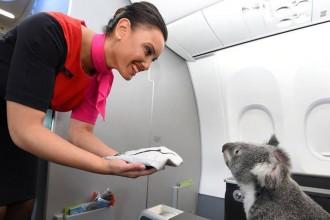 famous-koalas-2