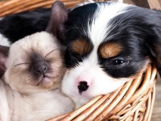 kitten-puppy-in-basket_133921