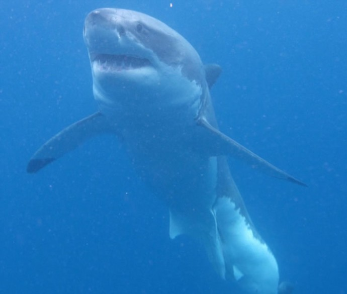 Great-White-Sharks-5