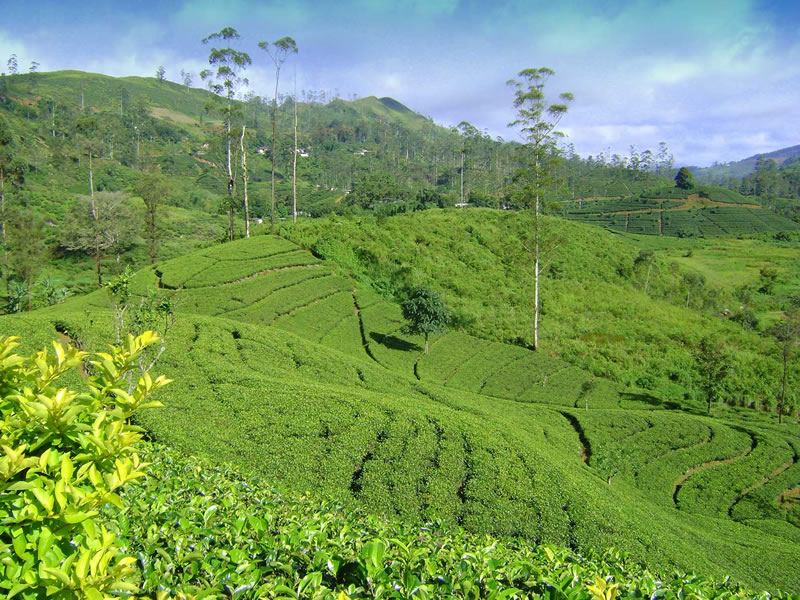 Tea-farm-in-Sri-Lanka-1