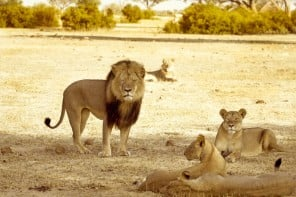 Four US airlines announce ban on hunting trophies 1