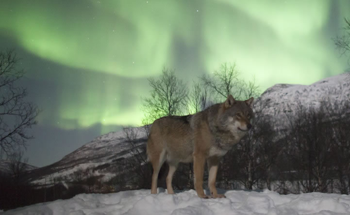 Norway Polar Park welcomes wolf-lovers 5