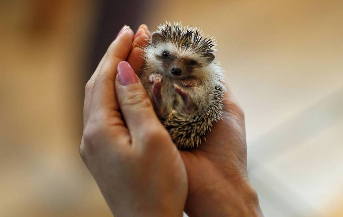 Tokyo is now home to an adorable hedgehog cafe : Luxurylaunches