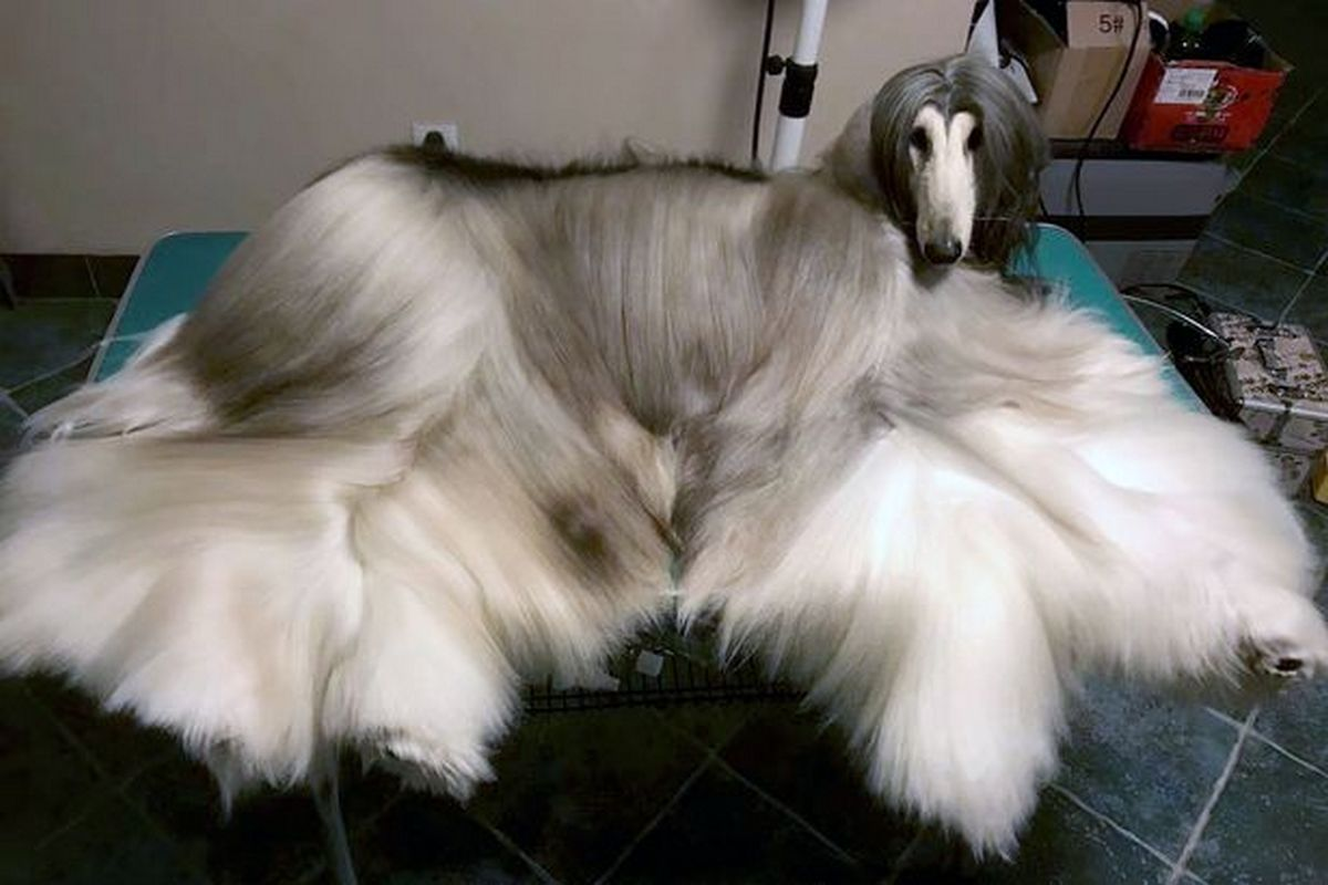 Check out this stylish dog who boasts of a $38,000 grooming regime -