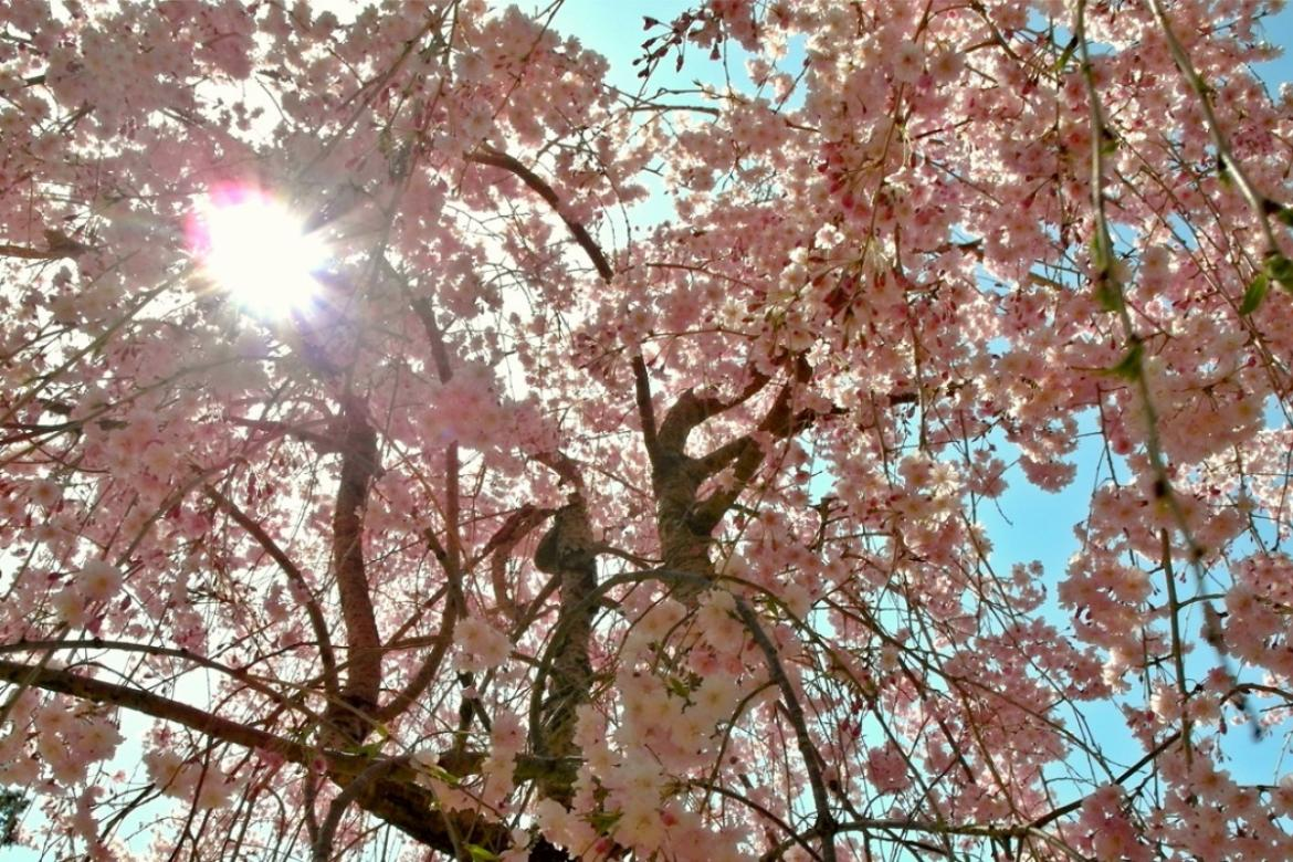 When the city turns pink - The 5 most serene spots to see Japanese Cherry tree blossoms in Kyoto -