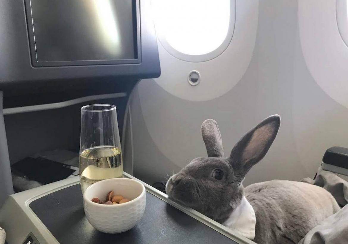 A rabbit in a bowtie sipping champagne while getting pampered in business class is the cutest thing you will see today : Luxurylaunches
